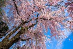 Όμορφο κεράσι που ανθίζει στο Τόκιο, Ιαπωνία Στοκ Εικόνα