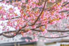 Όμορφο κεράσι Kawazu που ανθίζει, η πρώτη άνθιση στην Ιαπωνία Στοκ Φωτογραφία