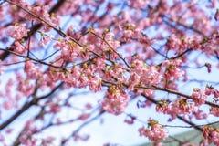Όμορφο κεράσι Kawazu που ανθίζει, η πρώτη άνθιση στην Ιαπωνία Στοκ εικόνες με δικαίωμα ελεύθερης χρήσης
