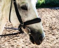 Όμορφο κεφάλι ενός άσπρου αλόγου φανείτε στοχαστικός στοκ εικόνες