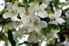 Όμορφο κλαδάκι του άσπρου άνθους μήλων την άνοιξη Στοκ εικόνες με δικαίωμα ελεύθερης χρήσης