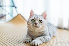 Όμορφο κοίταγμα γατών στοκ φωτογραφίες
