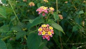 Όμορφο κοινό λουλούδι lantana - Σρι Λάνκα Στοκ Φωτογραφία