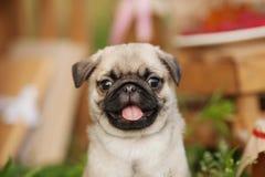 Όμορφο κουτάβι σκυλιών μαλαγμένου πηλού υπαίθρια τη θερινή ημέρα Στοκ Φωτογραφία