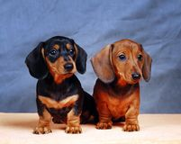 Όμορφο κουτάβι dachshund δύο στο μπλε υπόβαθρο Στοκ φωτογραφίες με δικαίωμα ελεύθερης χρήσης