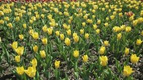 Όμορφο κρεβάτι λουλουδιών με τις κίτρινες τουλίπες φιλμ μικρού μήκους