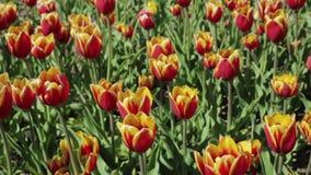 Όμορφο κρεβάτι λουλουδιών με τις κόκκινες κίτρινες τουλίπες φιλμ μικρού μήκους
