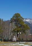 Όμορφο κωνοφόρο δέντρο Στοκ φωτογραφία με δικαίωμα ελεύθερης χρήσης