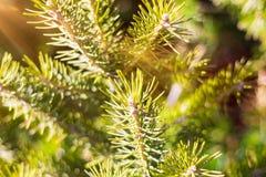 Όμορφο κωνοφόρο δέντρο στο φρέσκο φυσικό δασικό υπόβαθρο Στοκ Εικόνα
