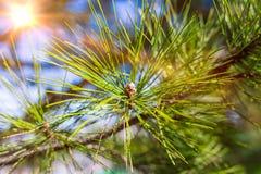 Όμορφο κωνοφόρο δέντρο στο φρέσκο φυσικό δασικό υπόβαθρο Στοκ Εικόνες