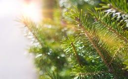 Όμορφο κωνοφόρο δέντρο στο φρέσκο φυσικό δασικό υπόβαθρο Στοκ φωτογραφίες με δικαίωμα ελεύθερης χρήσης