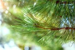 Όμορφο κωνοφόρο δέντρο στο φρέσκο φυσικό δασικό υπόβαθρο Στοκ εικόνες με δικαίωμα ελεύθερης χρήσης
