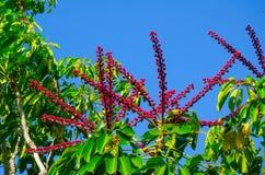 Όμορφο κόκκινος-ρόδινο λουλούδι δέντρων ομπρελών Schefflera Actinophylla ένα καλοκαίρι σε έναν βοτανικό κήπο Στοκ εικόνα με δικαίωμα ελεύθερης χρήσης
