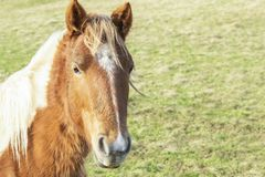 Όμορφο κόκκινο άλογο με το μακροχρόνιο ξανθό τομέα Μάιν την άνοιξη στοκ εικόνες