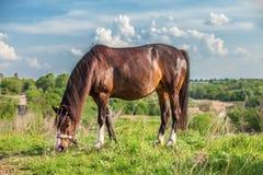 Όμορφο κόκκινο άλογο σε έναν θερινό τομέα Στοκ φωτογραφία με δικαίωμα ελεύθερης χρήσης