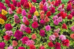 Όμορφο κόκκινο άνθος λουλουδιών Celosia Argentea στον κήπο Στοκ Εικόνες