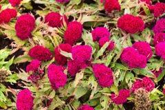 Όμορφο κόκκινο άνθος λουλουδιών Celosia Argentea στον κήπο Στοκ φωτογραφίες με δικαίωμα ελεύθερης χρήσης