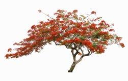 Όμορφο κόκκινο δέντρο λουλουδιών, δέντρο λουλουδιών Peacock, που απομονώνεται Στοκ Φωτογραφία