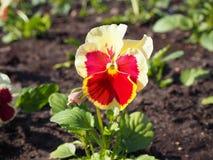 Όμορφο κόκκινο και κίτρινο pansy λουλούδι στον κήπο κατά τη στενή άποψη στοκ φωτογραφία με δικαίωμα ελεύθερης χρήσης