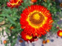 Όμορφο κόκκινο λευκό λουλουδιών στοκ φωτογραφία με δικαίωμα ελεύθερης χρήσης