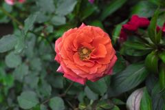 Όμορφο κόκκινο λουλούδι με την πράσινη χλόη στοκ φωτογραφίες