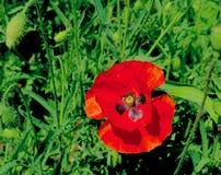 Όμορφο κόκκινο λουλούδι με το σημάδι πεταλούδων στην κοιλάδα Ινδία του Κασμίρ στοκ εικόνες