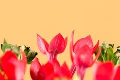 Όμορφο κόκκινο λουλούδι bouvardia που απομονώνεται στο κίτρινο υπόβαθρο στοκ εικόνες με δικαίωμα ελεύθερης χρήσης
