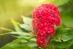 Όμορφο κόκκινο μαλλί cockscomb λουλουδιών κινεζικό Στοκ Εικόνες
