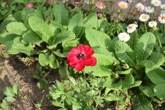Όμορφο κόκκινο λουλούδι στη μέση Στοκ φωτογραφίες με δικαίωμα ελεύθερης χρήσης