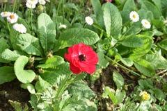 Όμορφο κόκκινο λουλούδι στη μέση Στοκ φωτογραφία με δικαίωμα ελεύθερης χρήσης
