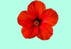 Όμορφο κόκκινο λουλούδι Στοκ Εικόνα