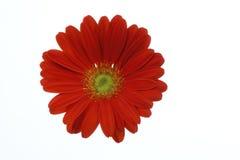 Όμορφο κόκκινο λουλούδι gerbera μαργαριτών που απομονώνεται στο άσπρο υπόβαθρο Στοκ εικόνα με δικαίωμα ελεύθερης χρήσης