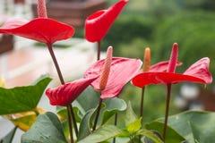 Όμορφο κόκκινο Anthurium λουλουδιών υπόβαθρο θαμπάδων με την εικόνα bokeh Στοκ Φωτογραφία