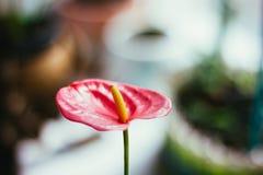 όμορφο κόκκινο anthurium λουλούδι στον κήπο σπιτιών Στοκ Εικόνες
