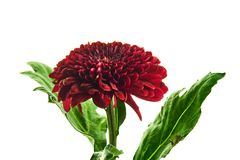 Όμορφο κόκκινο chrysantemum που απομονώνεται Στοκ φωτογραφία με δικαίωμα ελεύθερης χρήσης