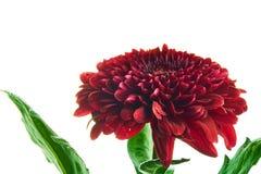 Όμορφο κόκκινο chrysantemum Στοκ εικόνες με δικαίωμα ελεύθερης χρήσης