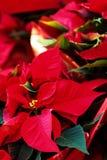 Όμορφο κόκκινο poinsettia λουλουδιών Χριστουγέννων ως σύμβολο χ Χριστουγέννων Στοκ Εικόνα