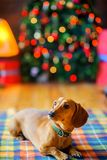 Όμορφο λίγο σκυλί βρίσκεται σε ένα κάλυμμα Στοκ φωτογραφία με δικαίωμα ελεύθερης χρήσης