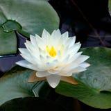 Όμορφο λευκό άνθισης waterlily στοκ φωτογραφίες