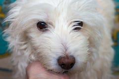 Όμορφο λευκό λίγο σκυλί που κοιτάζει στην πλευρά στοκ εικόνες