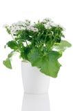 όμορφο λευκό λουλουδιών άνθισης Στοκ φωτογραφία με δικαίωμα ελεύθερης χρήσης