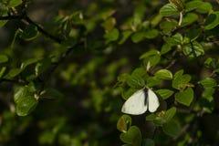 Όμορφο λευκό μαύρο σώμα πεταλούδων με τα καταπληκτικά πράσινα φύλλα στο θολωμένο υπόβαθρο Θερμό φως με τη μακρο κινηματογράφηση σ στοκ φωτογραφίες