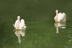 όμορφο λευκό πελεκάνων ζ& Στοκ Εικόνα