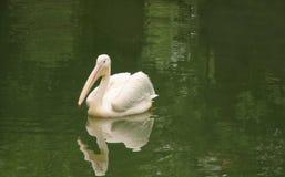 όμορφο λευκό πελεκάνων Στοκ φωτογραφία με δικαίωμα ελεύθερης χρήσης