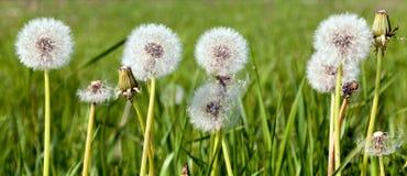 όμορφο λευκό πικραλίδων στοκ φωτογραφίες