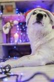 όμορφο λευκό σκυλιών φωτογραφία μητέρων καπέλων Claus Χριστουγέννων μωρών που παίζει το santa του s που φορά μαζί christmas happy Στοκ Εικόνες