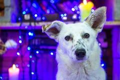 όμορφο λευκό σκυλιών φωτογραφία μητέρων καπέλων Claus Χριστουγέννων μωρών που παίζει το santa του s που φορά μαζί christmas happy Στοκ εικόνες με δικαίωμα ελεύθερης χρήσης