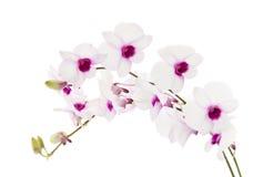 όμορφο λευκό dendrobium Στοκ φωτογραφία με δικαίωμα ελεύθερης χρήσης
