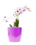όμορφο λευκό dendrobium Στοκ Εικόνες