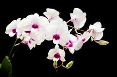 όμορφο λευκό dendrobium Στοκ φωτογραφίες με δικαίωμα ελεύθερης χρήσης